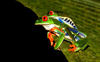 Copulating Red-eyed Tree Frogs