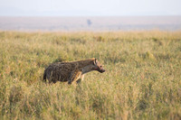 A Spotted Hyena in the Ngorongoro Highlands