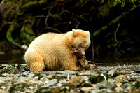 Spirit Bear eating Coho Salmon
