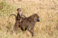 A Mother and baby Savanna Olive Baboon in the Serengeti