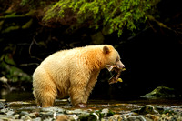 Spirit Bear with Coho Salmon