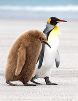 King Penguin with Juvenile