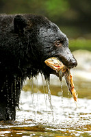 Black Bear eating a Coho Salmon