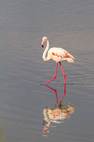 A Greater Flamingo in the Serengeti