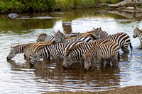 A group of Zebras drinking from a pond in the Serengeti