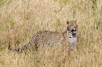 A Leopard on the prowl in the Serengeti