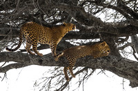 Two Leopards in a tree guarding their kill in the Serengeti